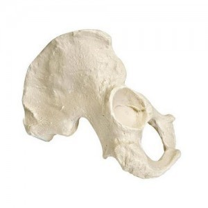 [3B] 남성반쪽골반모형(우측) W19123 /ORTHOBone Hemi Pelvis, male,right